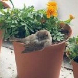 Врабче в саксия за цветя
